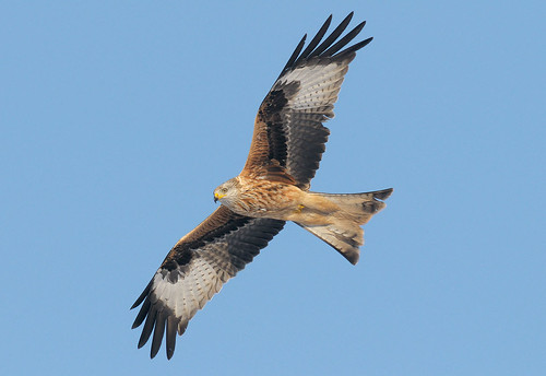 D186547 Red Kite | by Nick Sidle