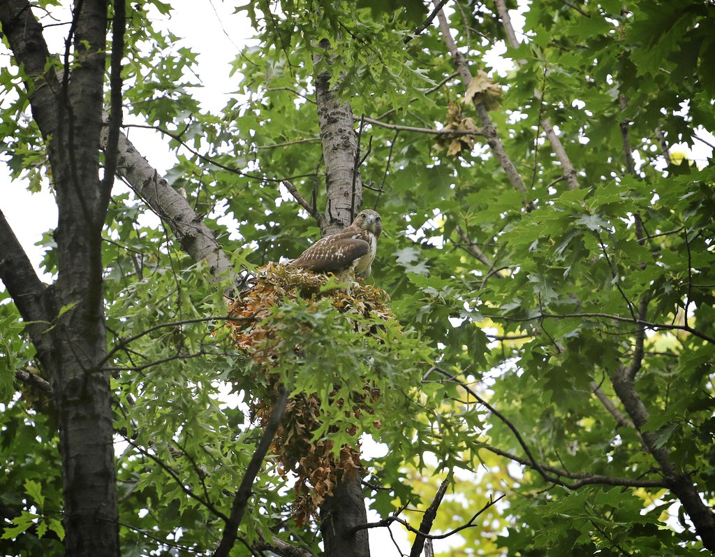 Fledgling hawk sitting on squirrel nest