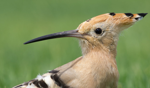 Hoopoe close up 4 300mm - Costa Teguise