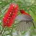 Crimson Sunbird.