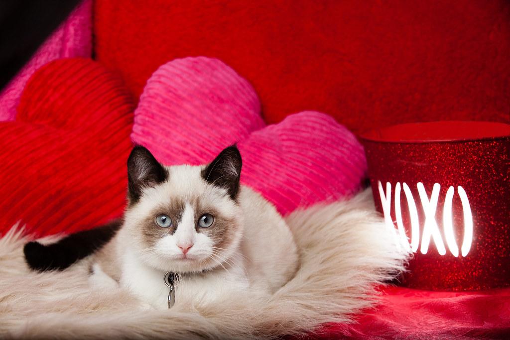 Valentines Day Ragdoll Kitten With Pillows Winnie The Burm Flickr