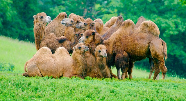 Bactrian Camel_12