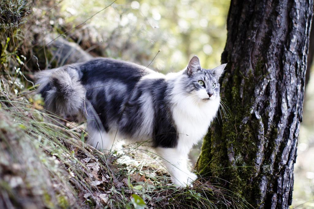 Norwegian forest cat  ...