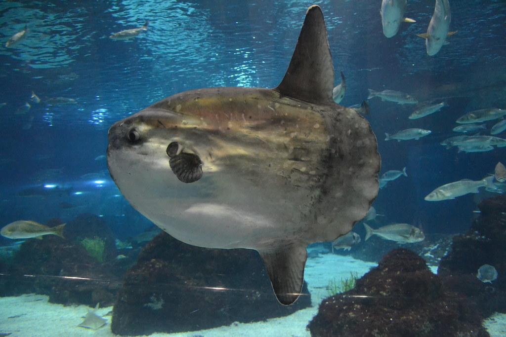 Image gallery moon fish for Hawaiian moon fish