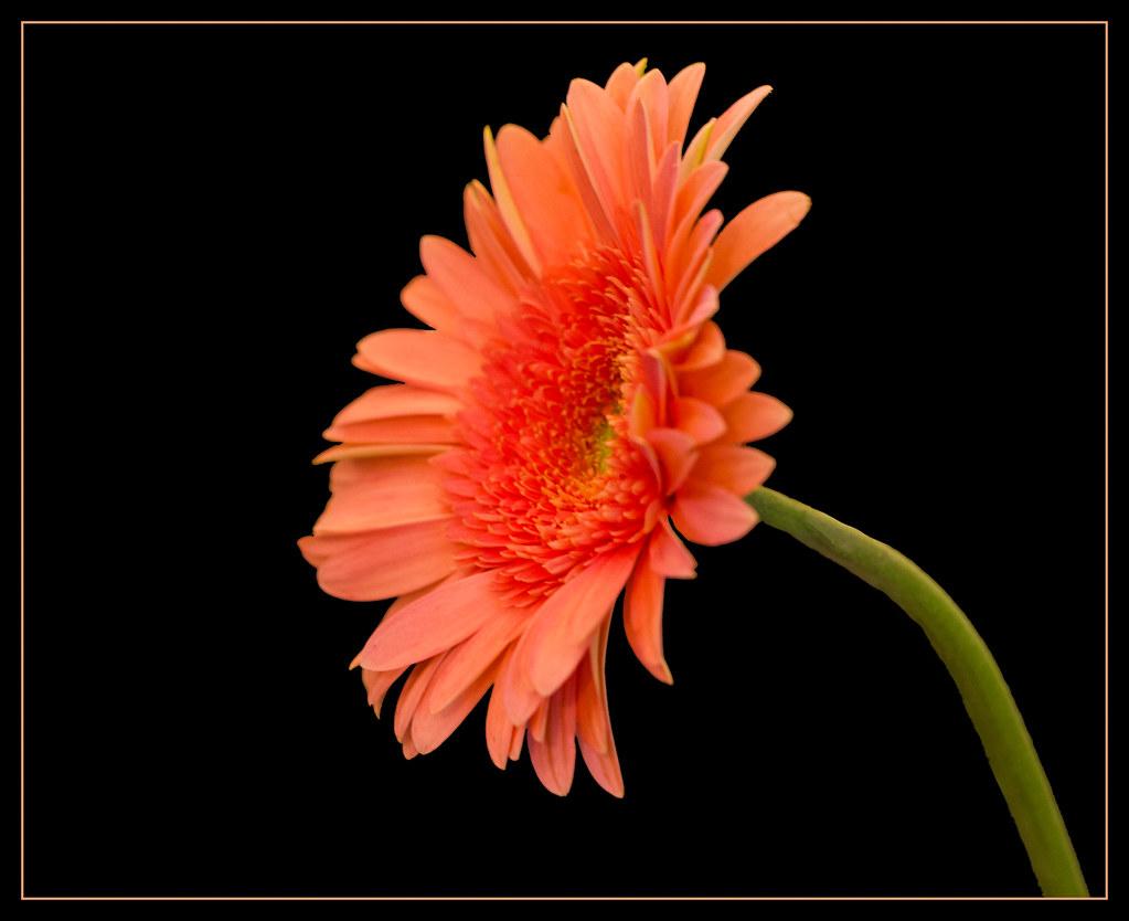 peach gerbera daisy gerbera daisy flower rosemarie crisafi flickr