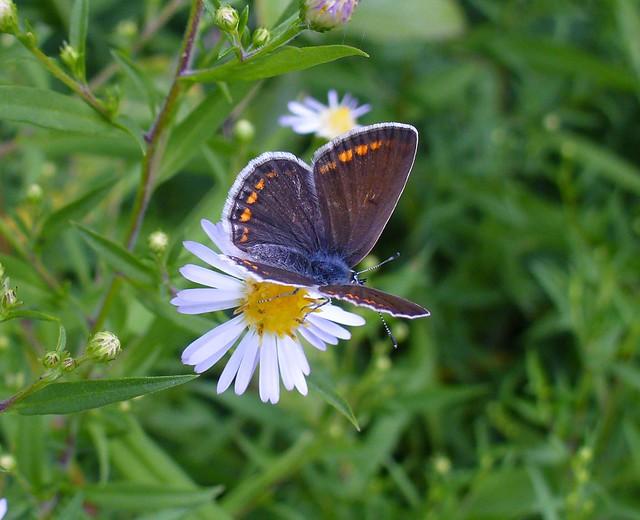 Modrásek jehlicový (Polyommatus icarus) ♀