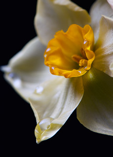 Narcissus | by bbclare
