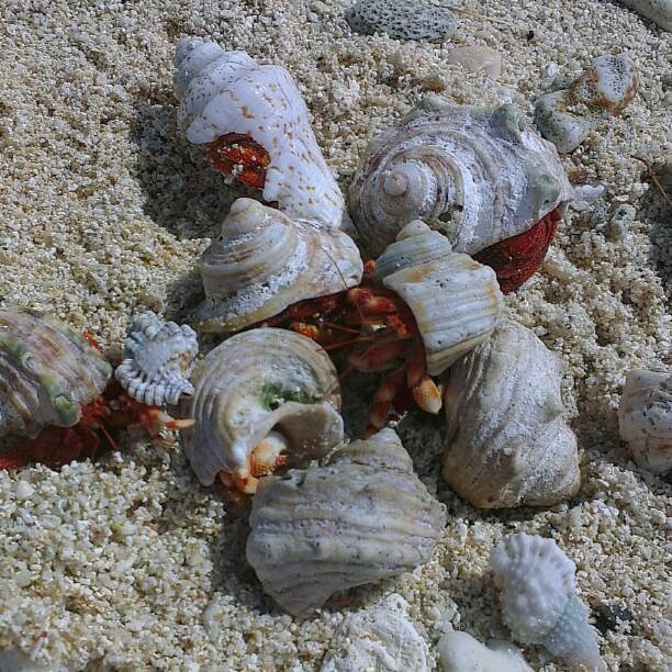 Hermit crabs,