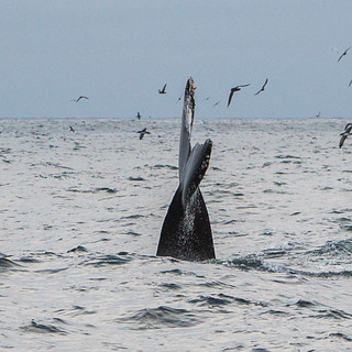 Humpback Whale watching on the Sub Sea Tours & Kayak Dos Osos boat | by mikebaird