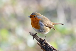 Robin in the Winter sun | by Rivertay07 - thanks for over 4 million views