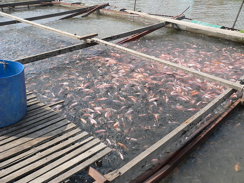 tilapia farming in floating cages in vietnam photo by kha