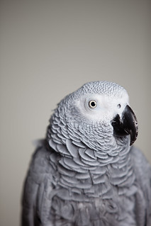 African Grey Parrot, profile | by Found Animals