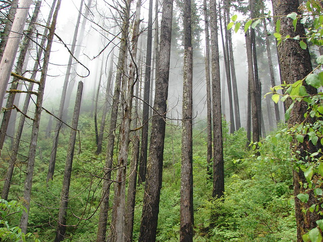Foggy forest along the Clackamas River Trail