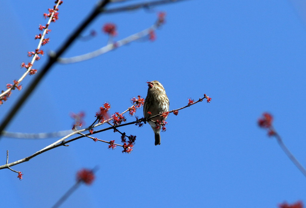 Purple Finch Female At Cochran Shoals Chattahoochee