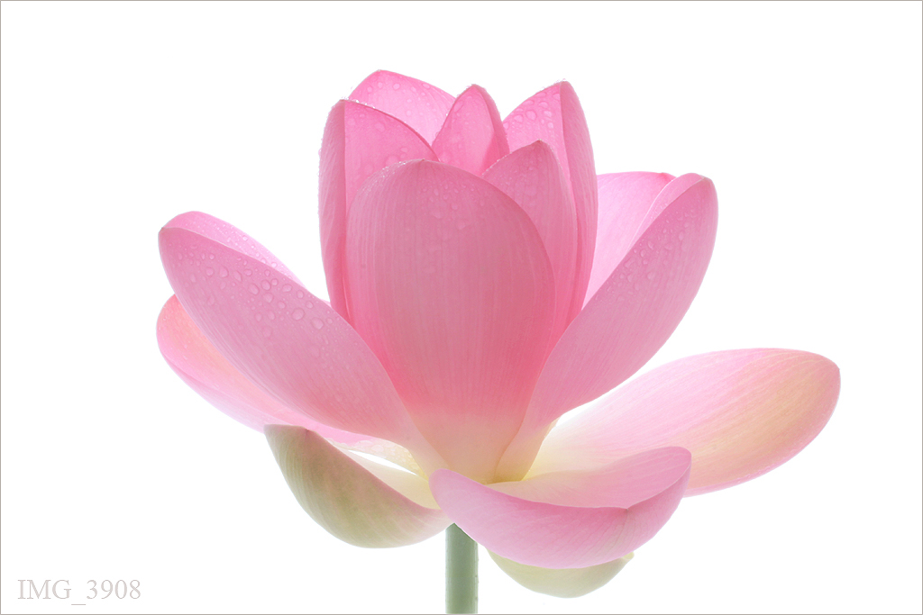 pink lotus flower on white  img  pink lotus flow…  flickr, Beautiful flower