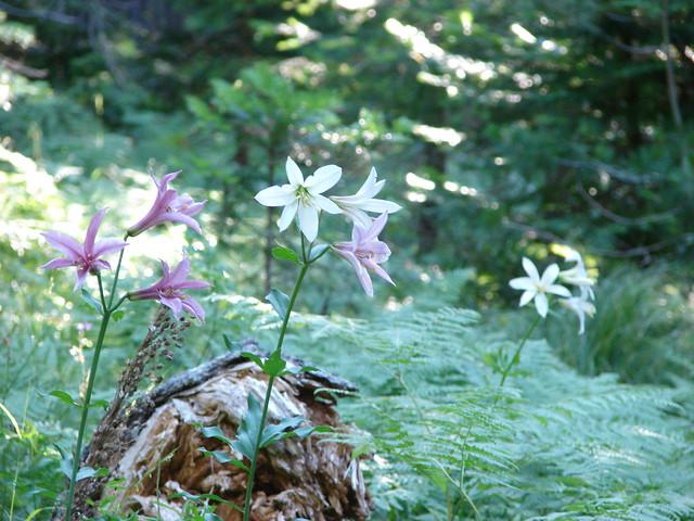 Cascade Lilies