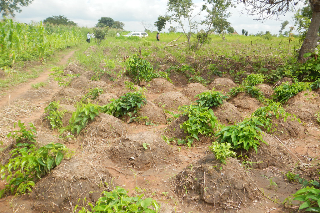 Seed Yam Multiplication Field At Benue State Nigeria Flickr