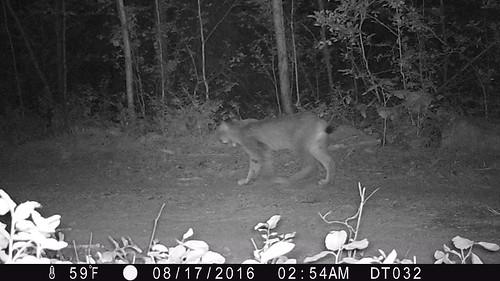 Kettle Lynx 2016 Photo WSU and Working for Wildlife Initiative 4