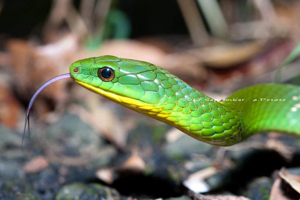 青蛇近照。圖片來源:Flicker。擁有者:a.Potato(CC BY-SA 2.0)。