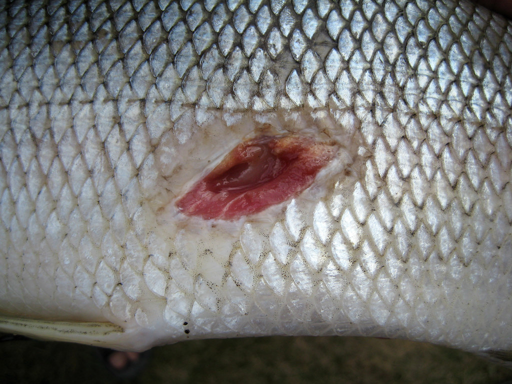 Sea Lamprey wound on a Lake Whitefish IMG_0546 | You may ...