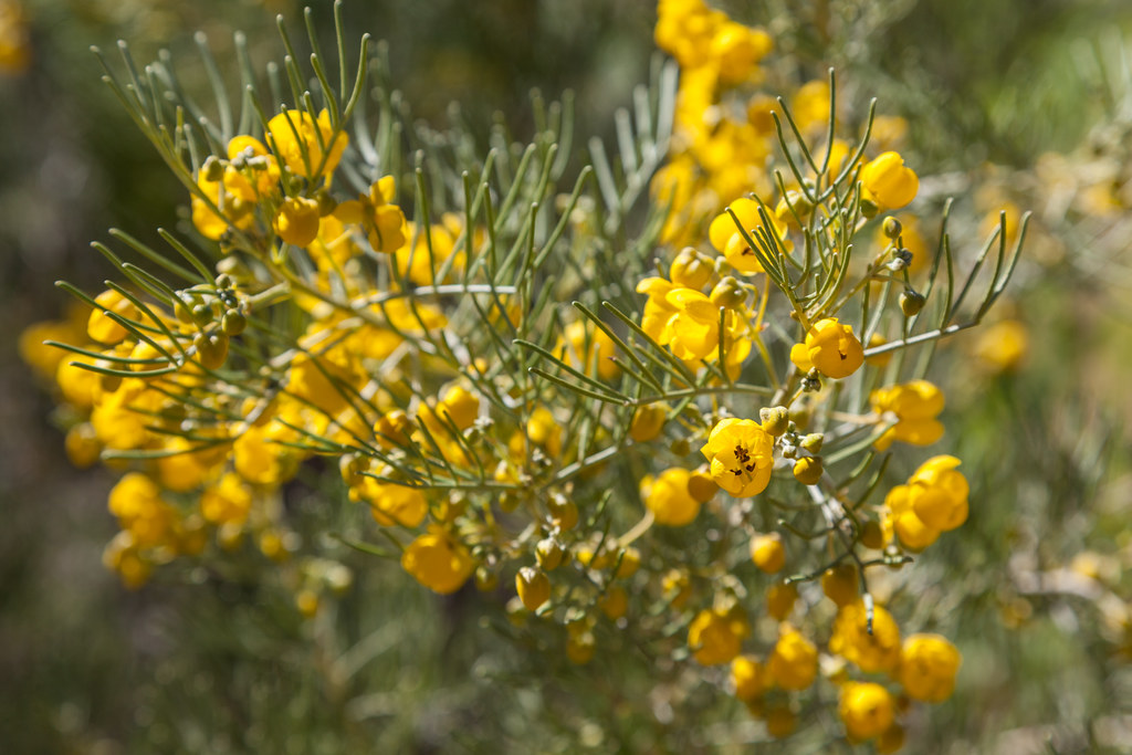 Yellow Flowering Desert Shrub Photographed At The Alice
