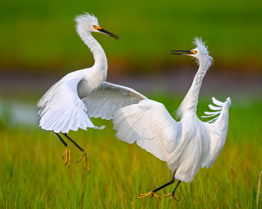 Snowy Egrets Sparring by Mitch Adolph