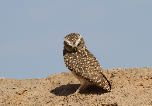Burrowing Owl, Lluta Valley, Arica, Chile, October 2012 | by Sterna999