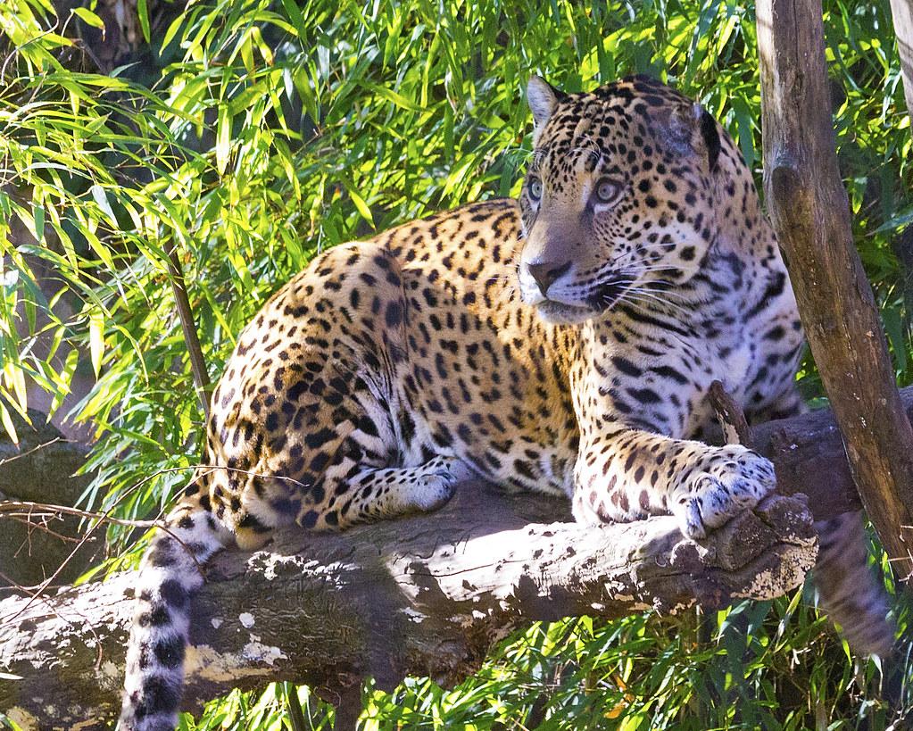 Jaguar in Tree - Landscape View   Taken at the Sacramento ...