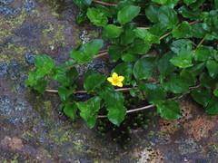 "Con flores amarillas Lysimachia nemorun auténtica ""pasmo belarra"""