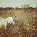 White Horse at La Chua Trail in Gainesville