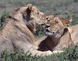 66387 African Lions | by Nick Sidle