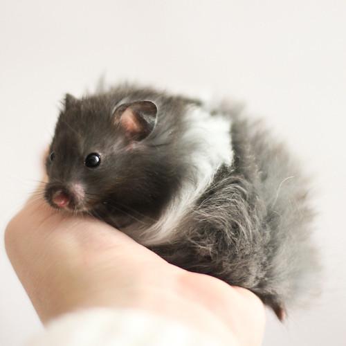Panda | Black Banded Longhaired Syrian hamster ...