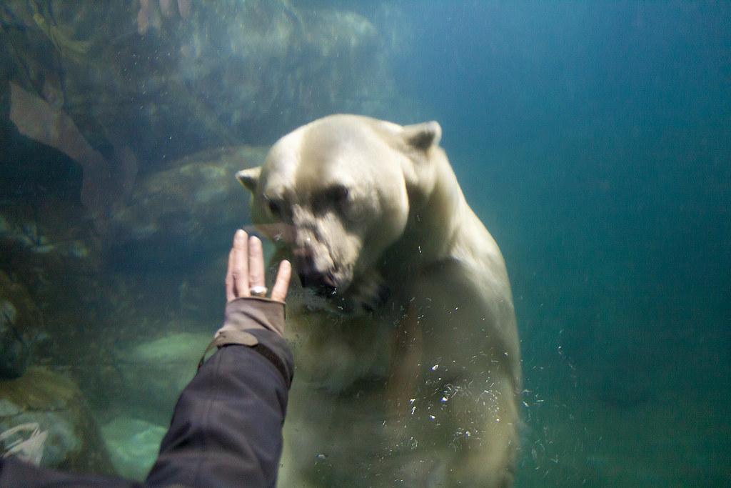 Polar Bear Underwater. From A