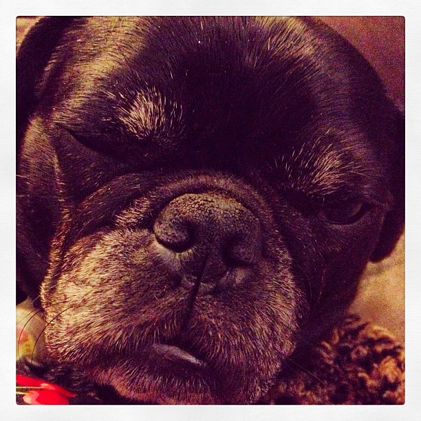Sleepy #pug #blackpug