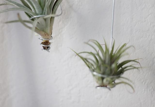 diy air plant display flickr photo sharing. Black Bedroom Furniture Sets. Home Design Ideas