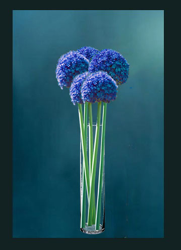 Blue long stem allium this is a photoshopped picture for Blue long stem roses