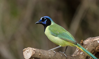 Green Jay | by Laura Erickson