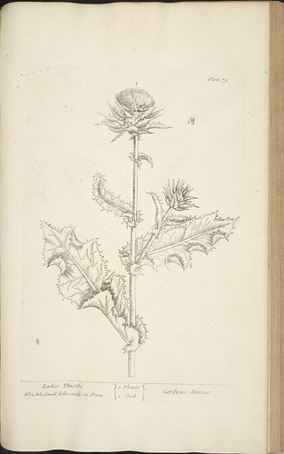 Ladies thistle | by National Library of Scotland