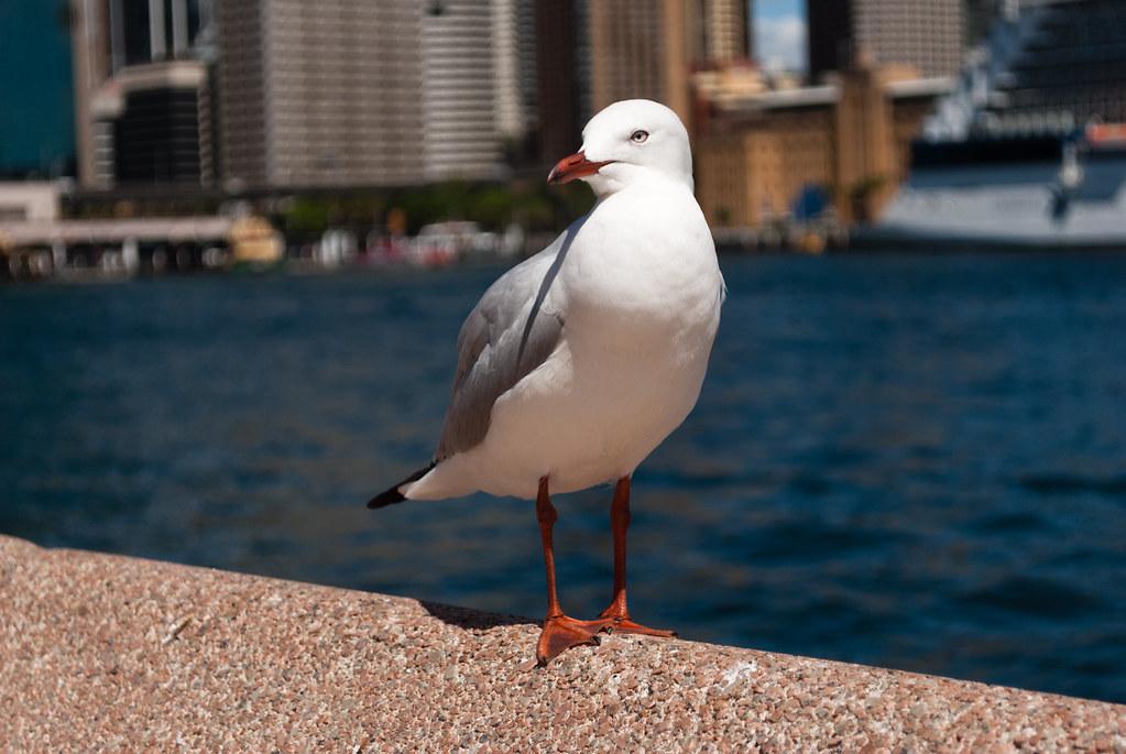 Seagull   Matt Chan   Flickr