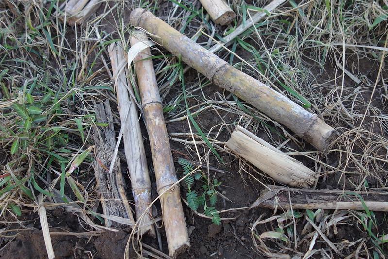 sugar cane billets
