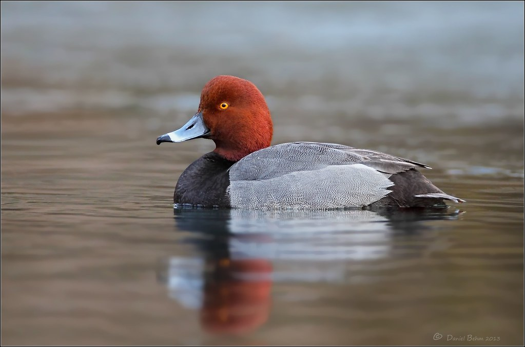 Duck photo redhead kissing and