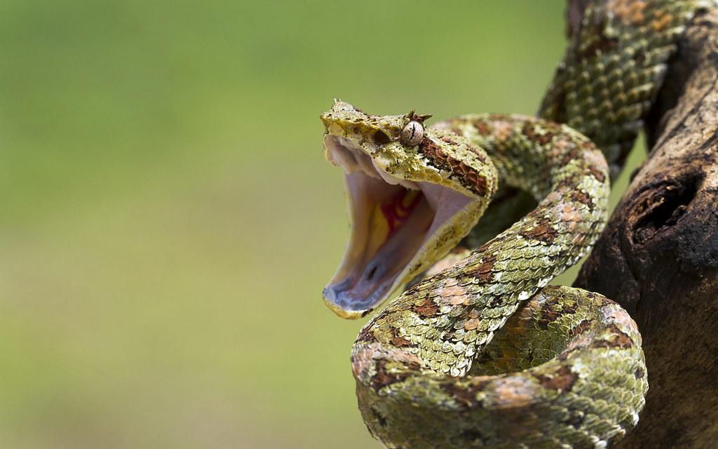 Viper Snake Strike Eyelash viper , coiled to strike anthony flickr