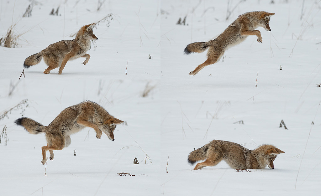 coyote jump a coyote hunting voles under the snow photogr flickr. Black Bedroom Furniture Sets. Home Design Ideas