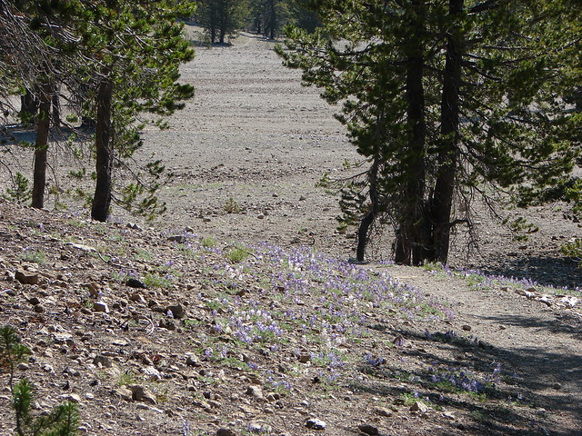 Lupine near the Pumice Flat