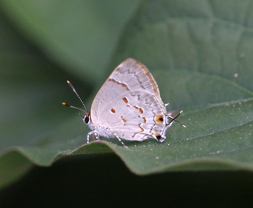 Red-spotted Scrub-Hairstreak (Strymon ziba) | by Rezamink