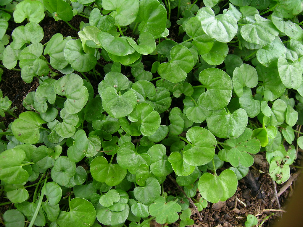 Clover For Shaded Areas