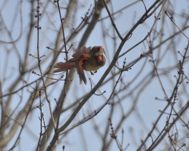 Female cardinal in flight - photo#24