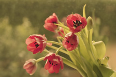tulipanes by Susana Ugarte