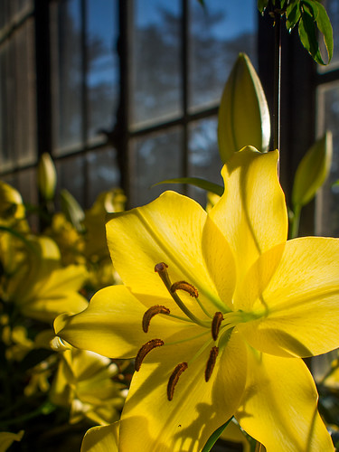 Olympus 17mm f/1.8 Test: Backlit Lily | by Entropic Remnants