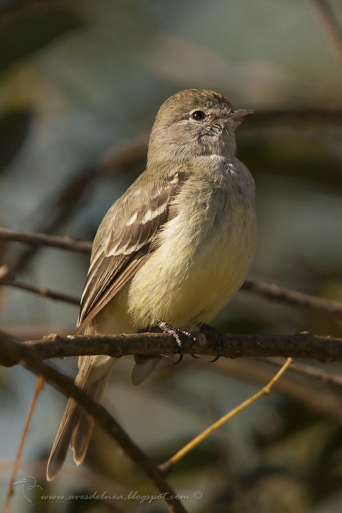 Suirirí pico corto (Southern scrub-Flycatcher) Sublegatus modestus